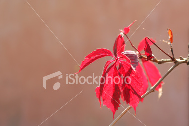 Red leaf on the branch